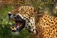 Jaguar (gecko47) Tags: animal mammal feline costarica captive endangered rare sarapiqui jaguar pantheraonca nearthreatened wildcat carnivore apexpredator