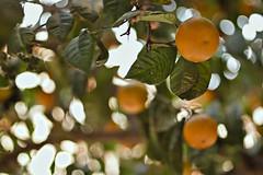 Orange Tree (shaunmck1) Tags: tree orange oranges green closeup bokeh pentax colour portimao fruit k3ii portugal orangetree