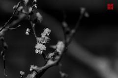 snow in tokyo・雪の東京 (新男熊) Tags: schnee tageszeit niederschlag tachikawa geographie fotografie format dof wetter sonyalpha7 kamera tokio ort zustand aspekte zeit asien abend dunkel natur japan 35mm