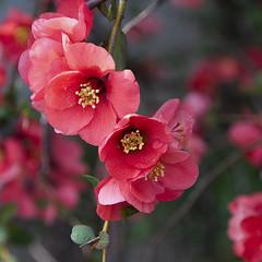 Flowering Quince (joeldinda) Tags: 2010 0853 nikon d300 nikond300 home mulliken potter yard tree quince april