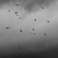 The Birds 2 (garethedwards36) Tags: lumix panasonic affinity affinityphoto atmosphere monochrome sky clouds weather gulls uk birds
