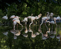 Flamingo Party (MrBlueSky* TAKING A BREAK) Tags: flamingo bird animal nature water wildlife colour outdoor zsl londonzoo london canon canonm6 canoneos reflection