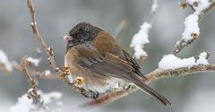 It ain't my favorite time of year !!! (wesleybarr1962) Tags: junco darkeyedjunco juncohyemalis wwshowcase