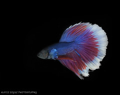 Betta Fish (Hafiz.Soyuz.Photography™) Tags: fish tank betta animal sea pet aquarium siamese fighting splendens gourami