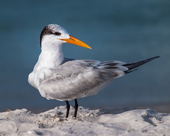 Royal Tern / Tirra canalera (N3ptun0) Tags: animal animals aves bird charadriiformes city naples nature royaltern sternamaxima sternidae thalasseusmaximus tern
