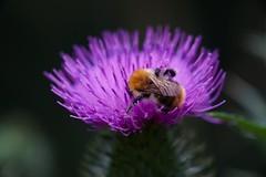 Chardon      Taylor Hobson Ental 80mm F 4.5 (情事針寸II) Tags: 薊 nature 蜜蜂 虫 マクロ撮影 自然 花 bokeh enlargerlens bee macro insect fleur flower chardon taylorhobsonental80mmf45