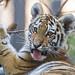 Last tiger picture