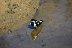 peewee (magpie lark) (22Lavender22) Tags: elements nature d3400 nikon wildlife australia