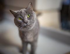 Shelter cat (Arutemu) Tags: animal animals animalportrait pet cat feline kitty bokeh ねこ 猫 動物 ボケ ぼけ 暈け sigma sigma50mmf14dghsmart