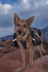 Liesl (Cruzin Canines Photography) Tags: animal animals canon canoneos5ds canon5ds canine 5ds eos5ds dog dogs pet pets gsd germanshepherd shepherd liesl portrait outdoors nature gardenofthegods colorado coloradosprings girl female hiking backpack backpacking