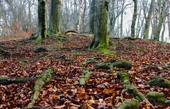 Winter forest / Téli erdő (Ibolya Mester) Tags: