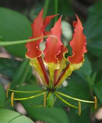 Gloriosa superba, Kuranda, QLD, 18/02/19 (Russell Cumming) Tags: plant weed gloriosa gloriosasuperba colchicaceae kuranda cairns queensland invasivespeciesiarf