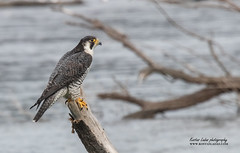 Falco peregrinus-petritisIMG_9487_1 (kostas ladas photography) Tags: ngc falco peregrinus wildbirds wildlife nature river water wild birds birdwatching birdingphotography photos animals