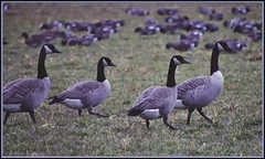 Walk This Way (robinlamb1) Tags: nature outdoor animal bird canadagoose brantacanadensis duck wigeon grass field