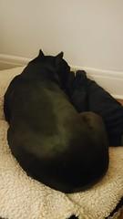 Bonnie sleeping (C-Monster) Tags: bonnie dog perro chien pitbull amstaff rump sleeping