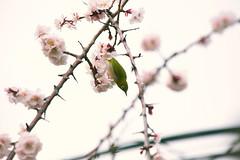 Singing Spring (moaan) Tags: kobe hyogo japan jp bird mejiro japanesewhiteeye perch perching springbranch springtime march ume umeblossom japaneseapricot blossom blossoming inblossom lowangleview highabove bokeh bokehphotography dof canoneos5dsr ef70mm200mmf28lisiiusm2x utata 2019