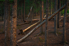 Fallen Logs (Aron Cooperman) Tags: aroncooperman banff banffnationalpark california canadianrockies escaype landscape mountains openlightphoto rockymountains sept2017 sunrise sunset nikond800 trees forest nature wood park tree natural