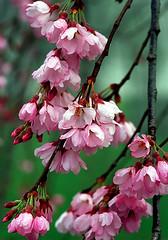 "Cincinnati - Spring Grove Cemetery & Arboretum ""Cherry Blooms"" (David Paul Ohmer) Tags: cincinnati ohio spring grove cemetery and arboretum cherry blooms"