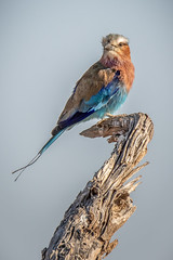Lilac-breasted Roller (helenehoffman) Tags: africa lilacthroatedroller kenya aves weaver forktailedroller bird lilacbreastedroller coraciascaudatus lewawildlifeconservancy coraciascaudatusmosilikatzesroller animal
