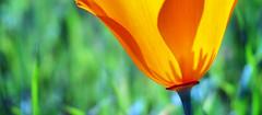 Cross-section (Steve Corey) Tags: capoppy montanadeorostatepark ca flower wildflower orange pop stevecorey macro bud grass wild