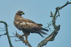 ZIM_6099 (lucvanderbiest) Tags: tawnyeagle savannearend safaririt zimangaprivatereserve southafrica