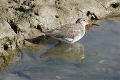 Redshank (Roy Lowry) Tags: redshank tringatotanus riaformosa praiadefaro ludo