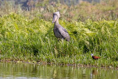 Shoebill waiting for lunch to swim by - (Balaeniceps rex) (TrekLightly) Tags: shoebill balaenicepsrex bird treklightly uganda mabambaswamp entebbe africanjacana endangered
