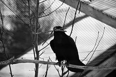 Grand corbeau/Common Raven (bob august) Tags: 2019 2019©rpd'aoust animals animaux canada commonraven d90 fauneanimalière hiver march mars montréal nikkor18300mm nikon nikond90 winter zoo zooecomuseumgrandcorbeau montréal québec