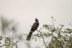 IMG_7366 (Rorals) Tags: southafrica bird wildlife safari kruger птушка ptica птица pták fugl vogel lind lintu oiseau πουλί madár éan uccello putns paukštis għasfur ptak pássaro pasăre vták pájaro fågel птах