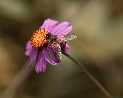 Bee (rogo design) Tags: azul pink bee abeja insect insects petal petals petalo honeybee pollination life yellow orange honey sonya7riii rodrigogodinez ngc