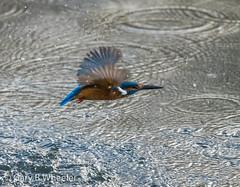 Kingfisher (Ponty Birder) Tags: g b wheeler pontybirder garywheeler kingfisher birdsinflight water wales alcedoatthis