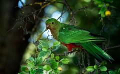 King Parrot (Rod Waddington) Tags: australia australian king parrot native bird nature wild animal tree portrait outdoor