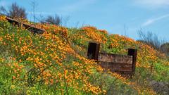 California Poppies (lennycarl08) Tags: northerncalifornia eastbay herculesca muirheritagelandtrust