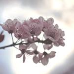 Flor de Cerezo thumbnail