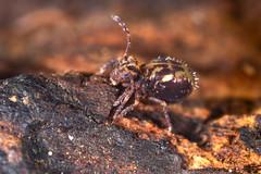 Springtail (Shane Jones) Tags: springtail bug wildlife nature nikon d810 24mmf28reversed pk3extensiontube pk3x2 macro macrolife macrophotosnolimits macrolicious collembola