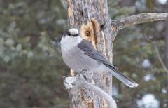 Canada Jay (Laura Erickson) Tags: saxzimbog stlouiscounty canadajay corvidae birds passeriformes species places minnesota grayjay perisoreuscanadensis perisoriuscanadensis