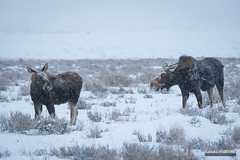 Moose In a Snowstorm (kevin-palmer) Tags: december winter snow snowy morning nikond750 nikon180mmf28 telephoto grandteton nationalpark grandtetonnationalpark jackson snowing storm cloudy moose animals wildlife mother cow calf sagebrush two cold sleepingindianoverlook