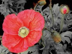 Oriental poppy... ❤️ (Mona Zimba) Tags: poppy flower nature spring orientalis papaver
