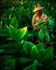 The tabacco farmers of Viñales (Pinar del Rio, Cuba 2019) (Alex Stoen) Tags: alexstoenphotography cuba leicamptyp240 pinardelrio summiluxm35mm travel viñales