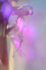... POR MI CUELLO ... (Device66.) Tags: robertiana xicon orchis wild flowers mountain purple lovethem giant