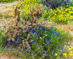 Borrego Springs Super Bloom (MarcCooper_1950) Tags: borrego springs desert anza state park wildflowers super bloom colorful outdoors landscape southerncalifornia nikon d810