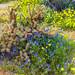 Borrego Springs Super Bloom