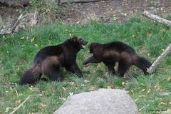 Glouton (Passion Animaux & Photos) Tags: glouton carcajou wolverine parc animalier saintecroix