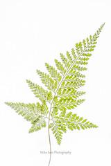fern (MikaJC) Tags: fern leaves plant wavehill whitebackground