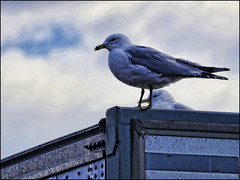 Just Waiting For Some Fries (raymondclarkeimages) Tags: rci raymondclarkeimages 8one8studios flickr usa canon google outdoor processed style 70200mm 6d seagull bird sky focus feathers