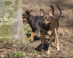Nestor & Ooligan en balade (Philippe Bélaz) Tags: nestor ooligan pragois ratierdeprague animal animaux animauxdecompagnie balades brun chiens chocolat forêts