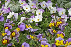 IMG_5618 (Roger Kiefer) Tags: dallas arboretum flowers outdoors beauty nature