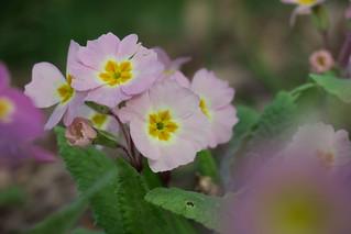 Pink wild Primrose