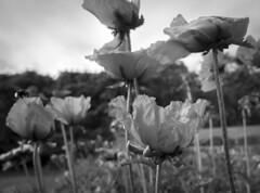 Iranian Poppy (Eklandet) Tags: iranian poppy papaver bracteatum persian flowerphotography flower flowers monochrome monochromephotography bw svartvitt black white blackandwhite blackandwhitephotography blackandwhitephoto blackandwhitephotonatur fineartphotography