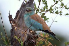 European Roller (leendert3) Tags: leonmolenaar southafrica krugernationalpark wildlife birds europeanroller naturethroughthelens ngc npc coth5